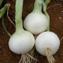 Cipolla bianca 1kg